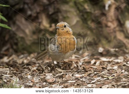 Robin Redbreast, Perched On The Forest Floor