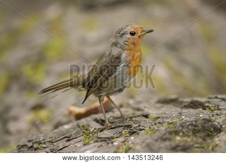 Robin Redbreast, Juvenile, Perched On A Tree Trunk Close Up
