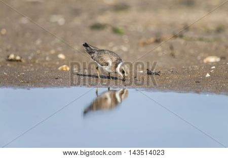 Ringed Plover Standing On The Beach, Feeding
