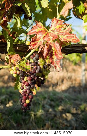 Colored leaf and a bunch of grapes in the vineyard