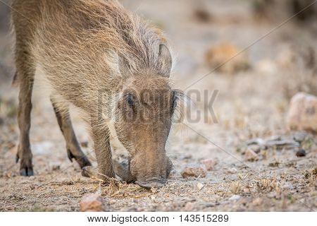 Warthog Eating In The Kruger.