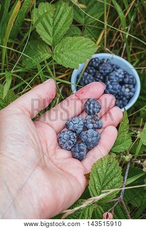 In the hand ripe blackberries and a cupful of blackberries in the background.