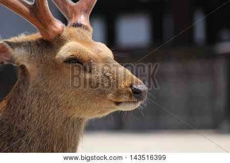 Portrait of a stag in Nara Park Japan