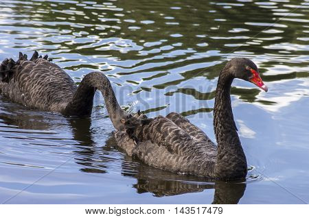 A pair of Black swans floating on the water surface