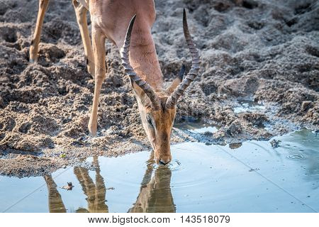 Impala Drinking In The Kruger.