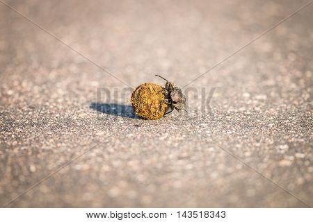 A Dung Beetle Rolling A Ball Of Dung In The Kruger.