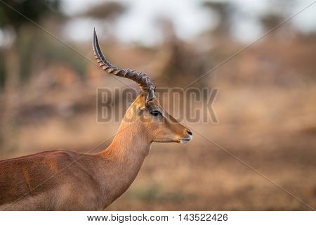 Side Profile Of An Impala In The Kruger.