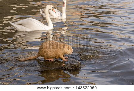 Image with a Coypu (or Nutria) staying on a rock in the middle of the water and a pair of swans swimming behind it. Picture taken on the Vltava river shore, in Prague, Czech Republic.