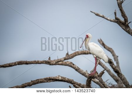 African Spoonbill On A Branch In The Kruger.