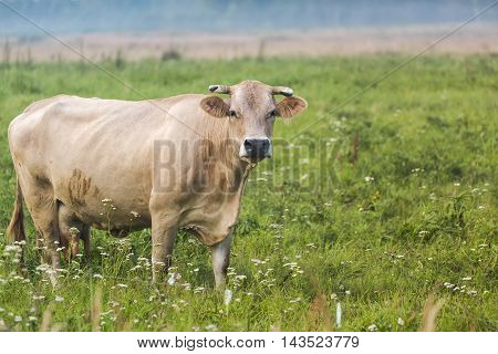 Brown cow browses in the green field.