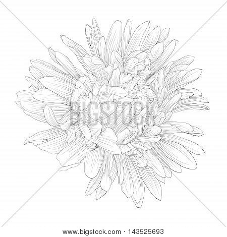 beautiful monochrome black and white aster flower isolated. Hand-drawn contour lines and strokes.
