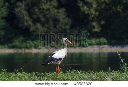 Stork in a field. water. White stork, near the river