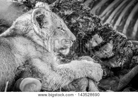 Eating Lion Cub In Black And White In The Kruger.