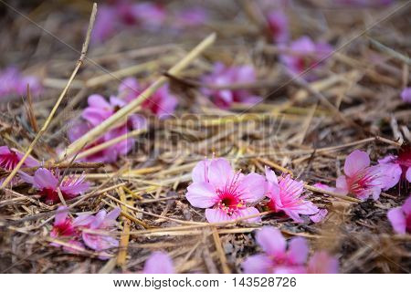 Cherry blossoms fall on the ground used for background..