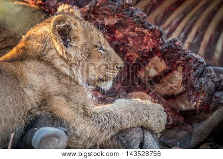 Eating Lion Cub In The Kruger.