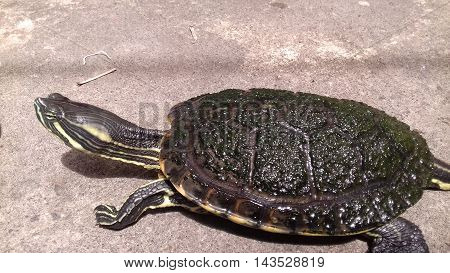 Animal terrestrial turtle walking fast in the sea