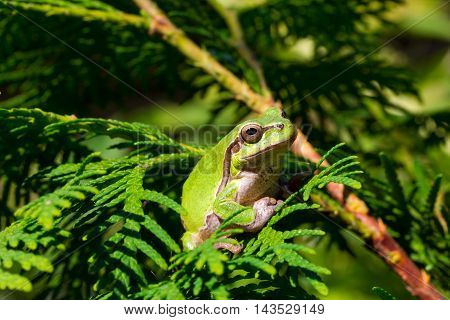 green tree frog is sitting in the branches of a tree Thuja
