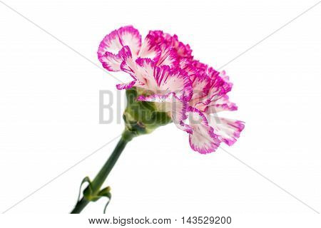 carnation pink flower on a white background