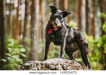 Small Size Black Hunting Dog in Summer Forest.