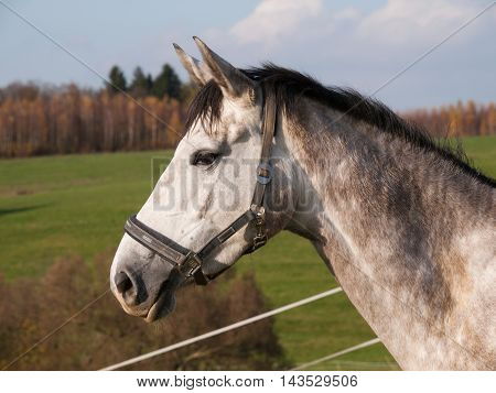 Head of white sport horse on pasture