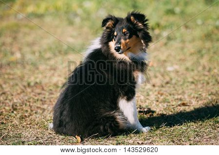 The Shetland Sheepdog, Sheltie, Collie Puppy Outdoors