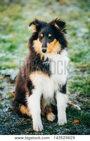 Shetland Sheepdog, Sheltie, Collie Puppy Sit Outdoor