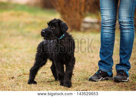 Black Puppy Of Giant Schnauzer Or Riesenschnauzer Dog Play Outdoor