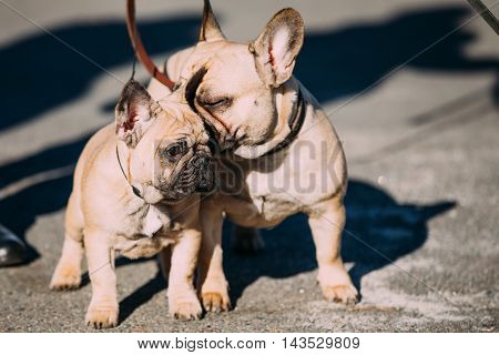 Two Funny Lovely French Bulldog Dogs In Park Outdoor. Popular breed of dog