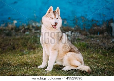 Young Funny White And Red Husky Puppy Dog With Blue Eyes Outdoor Against Blue Old Wall