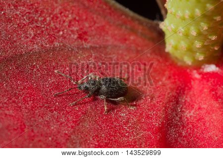 Beetle On The Red Petal