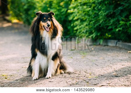 The Tricolor Rough Collie, Scottish Collie, Long-Haired Collie, English Collie, Lassie Adult Dog Sitting On The Ground In Summer Sunny Day.