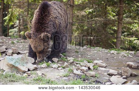 Wild Big Male Brown Bear
