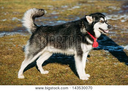 Beautiful Alaskan Malamute Dog Staying Outdoor In Spring