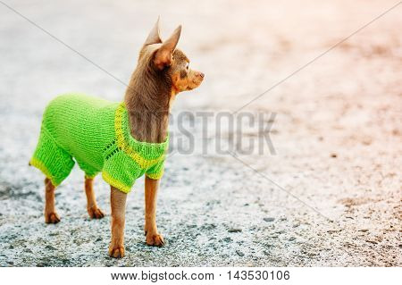Beautiful Tiny Chihuahua Dog Dressed Up In Outfit, Staying Outdoor And Looking At Right Side