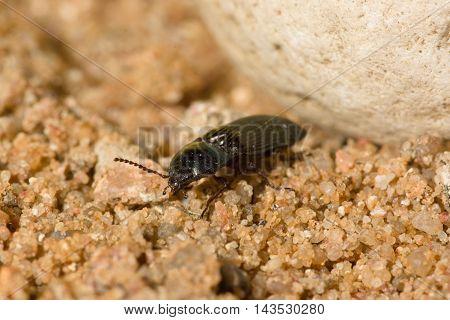 The Black Beetle