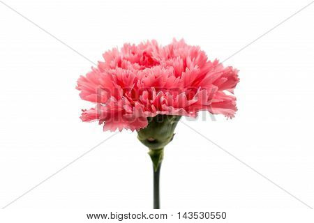 red flower carnation on a white background