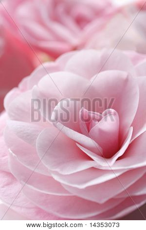 Glorious pastel pink camellia flowers, with soft focus.  This is a variety called