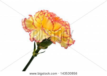 carnation  yellow flower on a white background