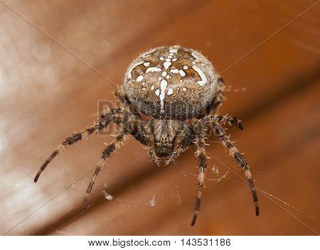shot of the big brown spider closeup