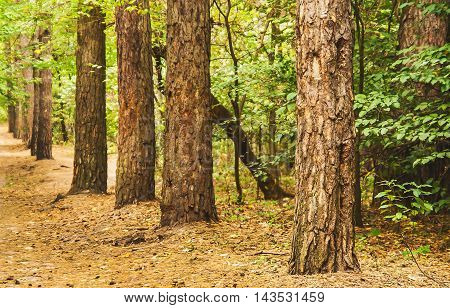 Autumn forest landscape with a the perspective.