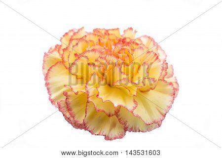 carnation flowers elegance on a white background