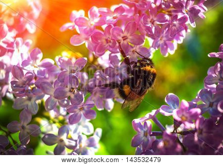 bumble bee pollinating a flower lilac on a background of the sun's rays