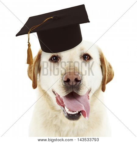 Adorable dog with black graduation cap on white background.