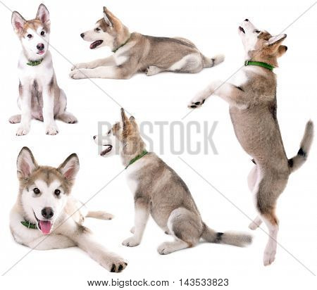Cute Malamute puppy collection isolated on white