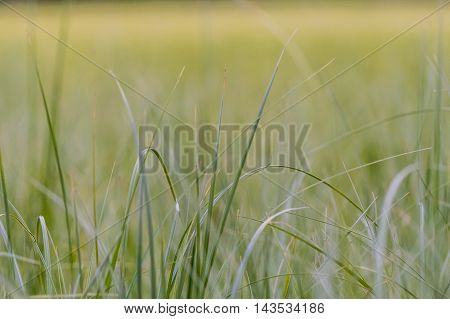 Tall Grass Close Up with hazy field in background