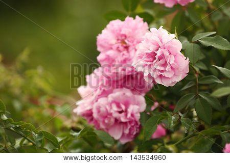 Pink roses bush on blurred background