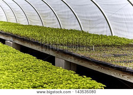 Sprouted green leaf seedlings in pots on a shelf in a greenhouse