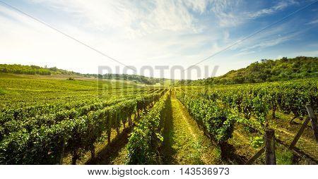 Vineyard, nature landscape