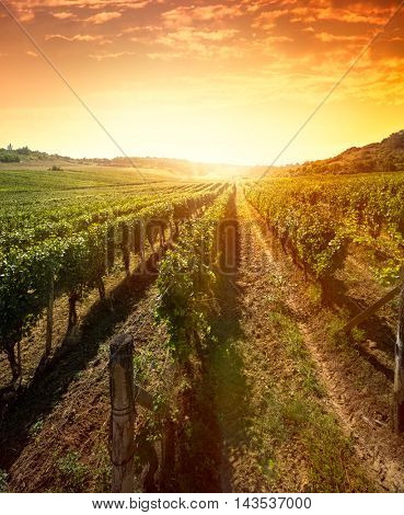 Rows of vines on sunrise with beautiful sky