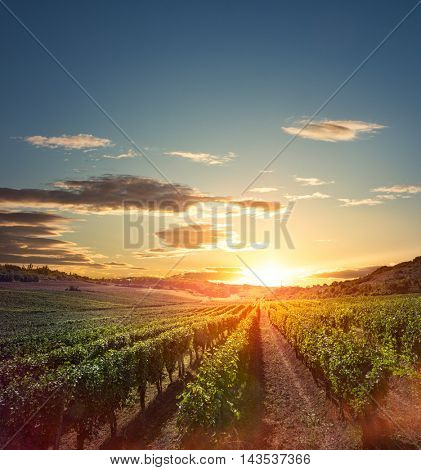 Rows of vines in beautiful vineyard at sunset